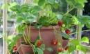 Từ A đến Z cách trồng dâu tây trong chậu tại nhà cho quả sai trĩu