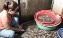 Hà Nội: Bắt quả tang cơ sở dùng kim tiêm bơm tạp chất vào tôm