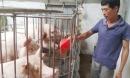 Giá lợn hôm nay 3.8: 4 nguyên nhân tăng giá lợn, khuyến cáo thận trọng tái đàn