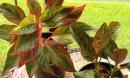 Vì sao các chuyên gia phong thuỷ nói nếu không trồng cây này trong nhà chắc chắn bạn sẽ hối hận cả đời