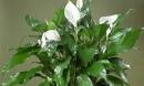 Đây chính là loại cây hút khí độc nên trồng ngay trong nhà lại giúp gia chủ thăng tiến trong sự nghiệp