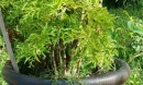 Không trồng cây đinh lăng trong nhà chắc chắn bạn sẽ hối hận cả đời