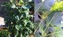 Chỉ 20m²: Đây là vườn rau đủ loại, ăn không xuể của mẹ Hà Thành