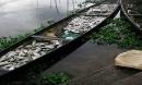Hàng chục tấn cá chết trên sông Đại Giang