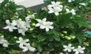 Trồng cây nguyệt quế dáng đẹp, hoa thơm, rước tài lộc vào nhà