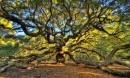 Sức sống mãnh liệt của cây sồi 'thiên thần' 450 tuổi ở Mỹ