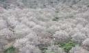 """""""Lạc trôi"""" vào rừng mơ trắng bồng bềnh trên cao nguyên Mộc Châu"""