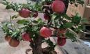 Cây táo đỏ đẹp nhập từ Trung Quốc giá bạc triệu chơi Tết và bí mật sau tán quả