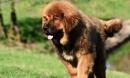 Những giống chó nghìn đô đắt đỏ nhất hành tinh