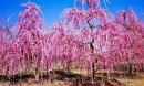 Ghé thăm Nhật Bản những ngày giữa tháng 3 ngắm 'rừng' hoa mơ ngập tràn sắc màu
