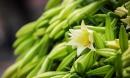 Hà Nội: Hoa loa kèn e ấp xuống phố chào hè