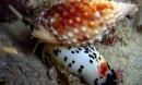Hãy tránh xa loài ốc này vì nó có độc tố mạnh hơn cả cá lóc và sẽ giết bạn trong tích tắc