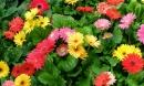 Trồng ngay những loại hoa đẹp, thơm 'hút' tài lộc, may mắn cho gia chủ trong dịp năm mới