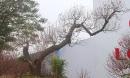 Đào rừng thân mục giá hơn trăm triệu hút khách