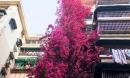Choáng ngợp cây hoa giấy khổng lồ gần 30 tuổi chảy dài như thác nước phủ kín tòa nhà 9 tầng, trở thành tâm điểm hút khách du lịch