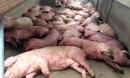 Việt Nam dịch bệnh thảm khốc chưa từng có, đông đá thịt lợn để dân ăn dần