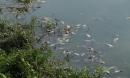 Cá chết đầy mặt hồ Yên Sở bốc mùi hôi thối, công nhân vệ sinh vớt cá suốt 2 ngày