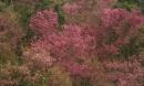 Sắc hoa nhuộm hồng núi rừng Tây Bắc dịp cuối đông