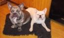 Người phụ nữ ở Mỹ bị chó bulldog mình nuôi tấn công đến chết