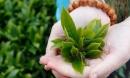 7 sai lầm tai hại khi uống trà xanh, cẩn thận kẻo ảnh hưởng thần kinh