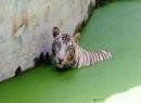 Hổ bạch tạng giết chết  nam thanh niên Ấn Độ trong vườn thú