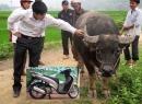 Bán trâu bò nuôi mộng 'nâng đời' xe SH