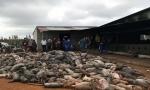 Đắk Nông: Chập điện, hơn 1.000 con lợn của dân chết cháy