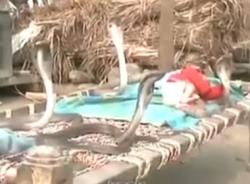 Lạnh gáy xem cảnh rắn hổ mang canh giấc ngủ em bé