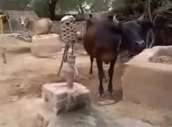 Video hài hước (P128):  Bò thông minh biết bơm nước uống