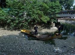 Hàng tấn cá chết nổi lềnh bềnh ở hồ Thiền Quang