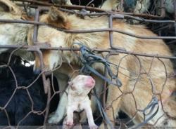 Ảnh chó mẹ sinh con trên đường đến lò mổ gây 'bão'