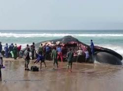 Lặng người trước cái chết của một chú cá voi