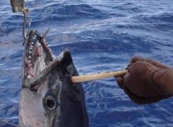 Bắt được cá ngừ 'mọc' sừng như trong thần thoại