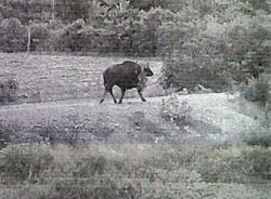 Dân Bình Thuận hốt hoảng khi bò tót về làng
