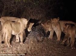 Cuộc chiến kịch tính giữa 17 con sư tử và chú nhím dũng cảm