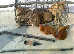 Cẩu tặc lĩnh 15 tháng tù vì trộm 4 con chó