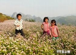 Lào Cai trồng thêm 30ha hoa tam giác mạch tạo điểm nhấn du lịch