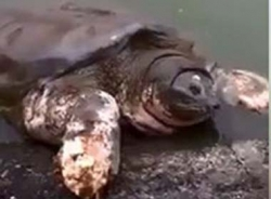 Clip: Cụ rùa nổi lên gần như trọn vẹn khỏi Hồ Gươm gây sốt