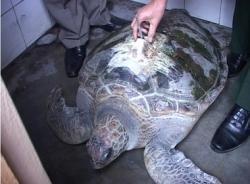 Bắt được rùa biển Trung Quốc có gắn thiết bị định vị