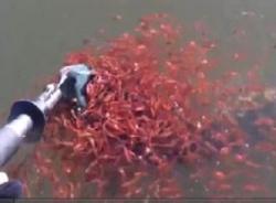 Cảm động clip cá mẹ mắc câu, cả ngàn cá con lao vào cứu