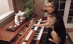 Chú chó đánh đàn piano điêu luyện