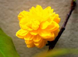 Hoa mai nở 120 cánh