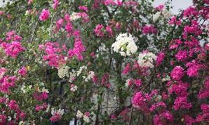 Những giàn hoa giấy khiến Hà Nội trở nên thơ hơn