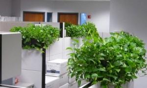 Cây trầu bà: Loại cây 'vô địch' trong số những cây nội thất hấp thụ khí độc