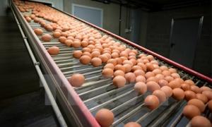 Bê bối trứng nhiễm thuốc trừ sâu lan ra nhiều nước châu Âu