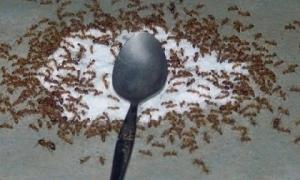 Bật mí bí kíp để trong nhà bạn không có con kiến nào mà không cần thuốc diệt