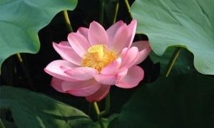 Đi qua mùa hạ, nhớ thương hoa sen thanh nhã