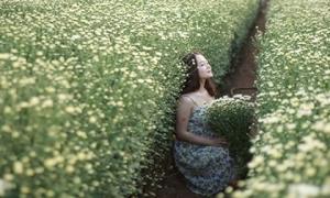 Cúc họa mi nở rộ, sáng bừng làng hoa Nhật Tân