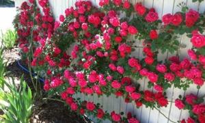 """8 loại cây hàng rào tuyệt đẹp nhất định phải trồng để nhà """"nổi nhất xóm"""""""