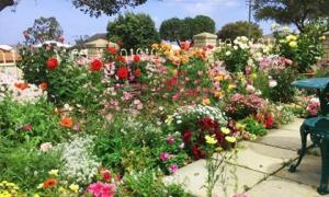 Ngất ngây khu vườn hoa hồng đẹp như tiên cảnh của mẹ Việt ở Australia